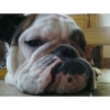 English Bulldog, 1.50, brindle/white