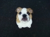 English Bulldog, 15 weeks, white & red
