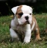 English Bulldog, 11weeks, white and brown