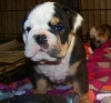 English Bulldog, 6 weeks, Black/Tan Tri