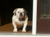 English Bulldog, 1, Brown