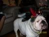 English Bulldog, 5 years, brindal/white