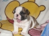 English Bulldog, 4 months, brown and white