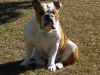 English Bulldog, 16 months, fawn and white