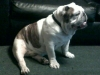 English Bulldog, 3yrs old, white and brindle
