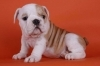 English Bulldog, 11 weeks, white and brown