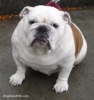 English Bulldog, 7, White & Brown