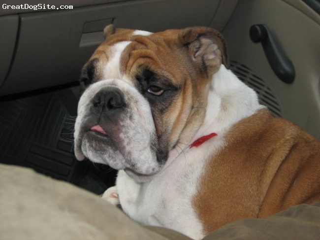 English Bulldog, 1 year and 4 months, Red and white,