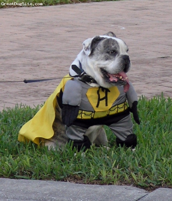 "English Bulldog, 9 years, Silver Brindle, ""SUPER HOWARD""  the super Hero"