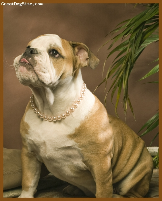 English Bulldog, 5 1/2 months, red/white, One of her many photo shoots