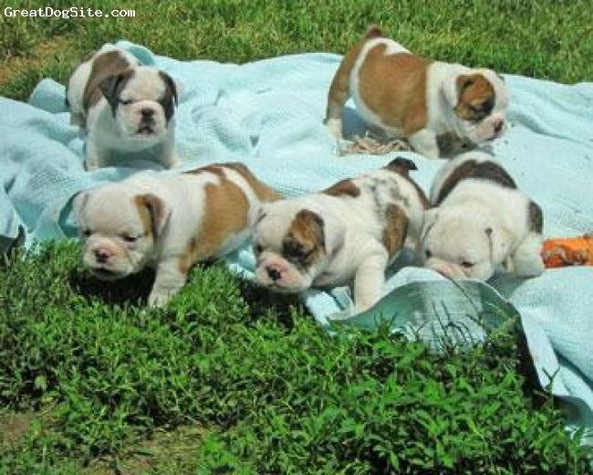 English Bulldog, 2 month, brown and black, Awesome puppies for loving homes we provide good fun loving family dogs our english bulls have very good temperaments and have already made alot of families very happy after extensive research and planning we are excited to announce there will be more breedings for 2009 if you are searching for the perfect english bulldog puppies to add to your family or yard these puppies are going to be awesome