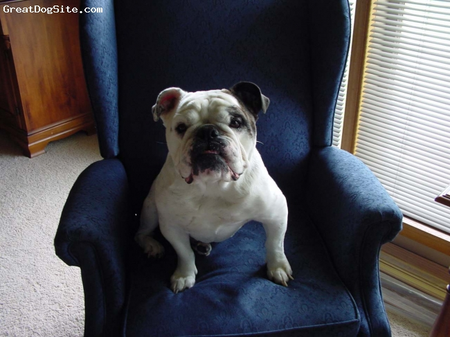 English Bulldog, 9, Brindle & White, Abbie passed to the Rainbow Bridge in December of 2008.  She was two months shy of her 13th Birthday.  We miss her sweet loving disposition every day .