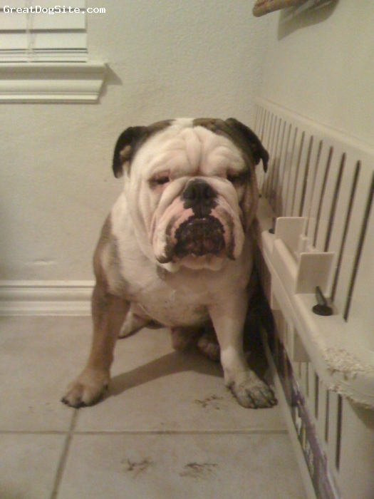 English Bulldog, 1, white, he has a grate family