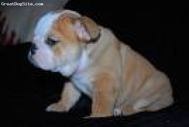 English Bulldog, 4 months, brown and white, She is vet checked, AKC registered, arm raised and plays responsibly with children