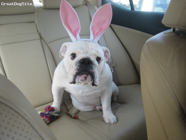 English Bulldog, 1 yr 8 months, White, Briggs is a white male and he's 1yr and 8 months.  Here he is enjoying Easter!
