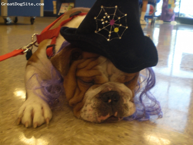 English Bulldog, 16 months, fawn and white, This our baby girl at Halloween.