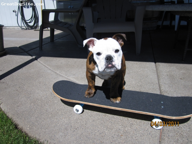 English Bulldog, 4 months, Red Brindle, Bella learning how to skateboard.