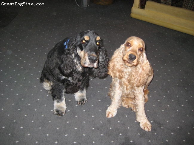 English Cocker Spaniel, 5 and 3 yrs, black/tan and golden, english cocker spaniels