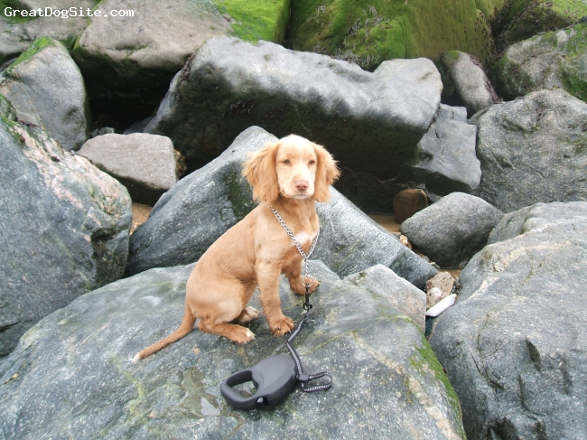 English Cocker Spaniel, 17 weeks, golden, here is shandy sitting on the rocks,