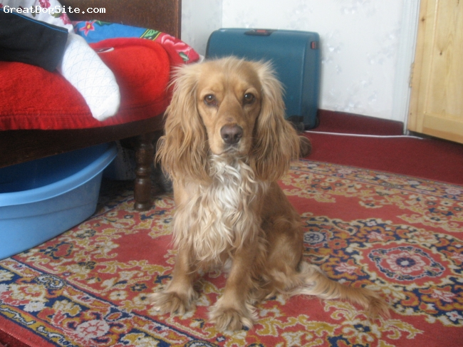 English Cocker Spaniel, 3, golden yellow, Lucky come from Mongolia, Choibalsan city.