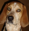 English Coonhound, 4 years, Red Tick