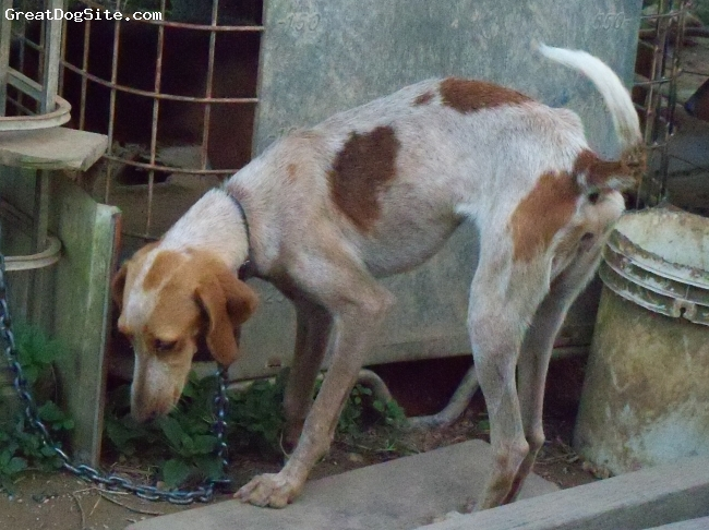 English Coonhound, 12 months, redtick, tall lithe female red-tick, Ginger is out of a blu-etick father and a beagle-fox mother