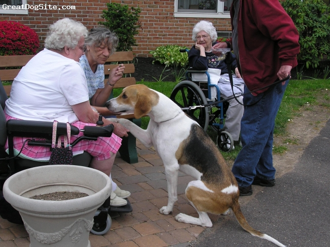 English Foxhound, 17mo, tri colored, He's a star at the nursing home.
