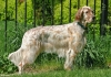 English Setter, 18 months, Orange Belton