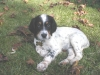 English Setter, 8 Weeks, Tri