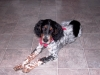 English Setter, 2, tri-color