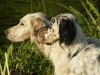 English Setter, 1,5, orange belton