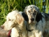 English Setter, 1,5-8, orange belton,tricolor