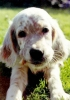 English Setter, pup, Orange and White