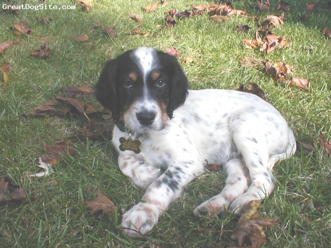 English Setter, 8 Weeks, Tri, Our puppy on his first weekend home in Alexandria, VA.