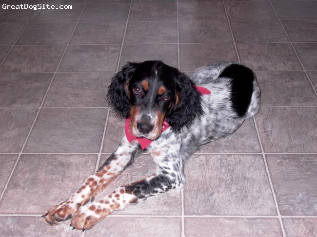 English Setter, 2, tri-color, Very active, kind, and loving