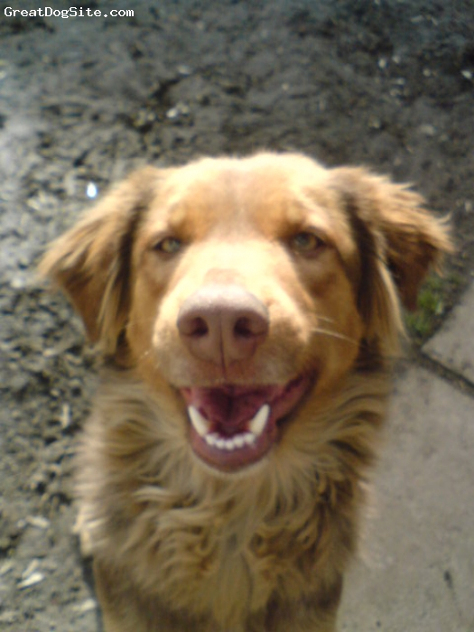 English Setter, 4, brownish red, she is a very playful dog and i would recomend english setters to everyone