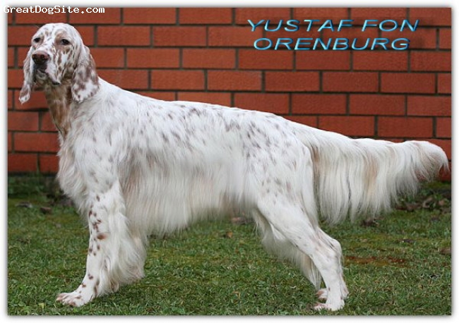 English Setter, 3.5 year, Orange Belton, Champion Rossii.Chempion Litvy.Chempion Moldova.Field