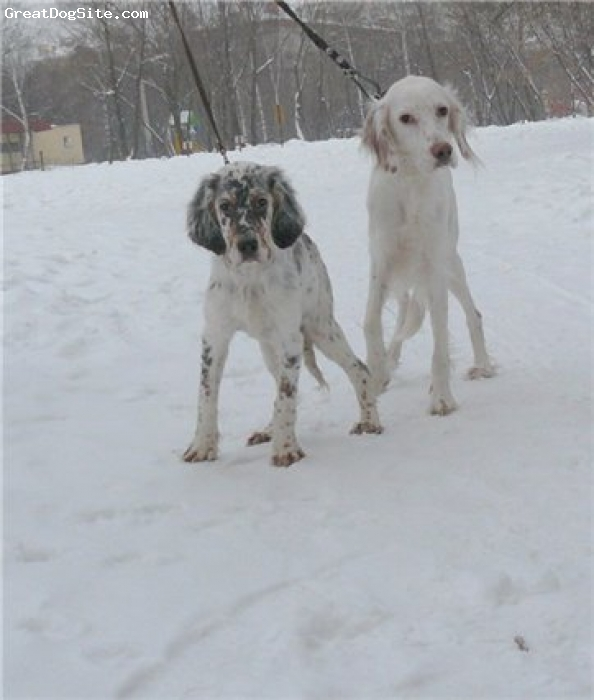 English Setter, 3,5,1year, tricolor,orange belton, Shnep Nack Persiva of Breed