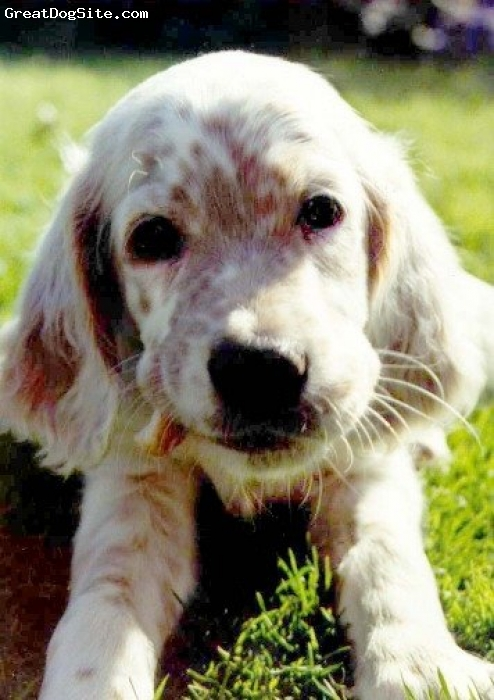 English Setter, pup, Orange and White, The most beautiful, soft, curious breed of dog
