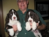 English Springer Spaniel, 8wks, Liver & White