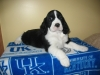 English Springer Spaniel, 7wks, Black & White