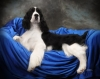 English Springer Spaniel, 2yrs, Black & white