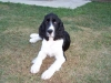 English Springer Spaniel, 5 months, Black and White