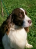English Springer Spaniel, 2 years, liver & white