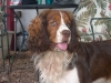 English Springer Spaniel, 2 years, Sable Liver Tri-color