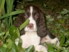 English Springer Spaniel, 4 months, Liver & White