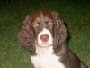 English Springer Spaniel, 3 months, Liver Tri-color