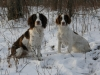 English Springer Spaniel, 2 & 3, Liver & White