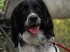 English Springer Spaniel, 11 months, black and white