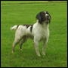 English Springer Spaniel, 7 year, brown and white
